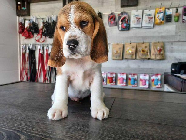 Magnífico cachorro beagle
