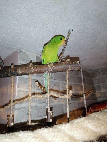 "Para papug  ""falistych""..."