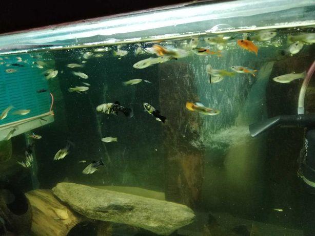 rybki narybek gupika