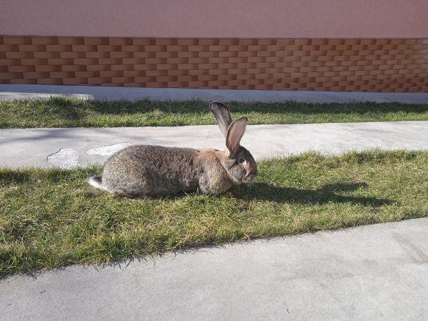 Фландери(кролики)
