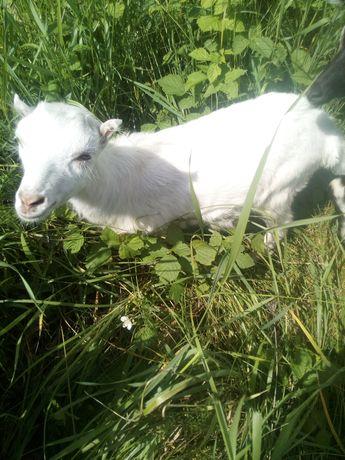 Козья фермочка,продам козеня