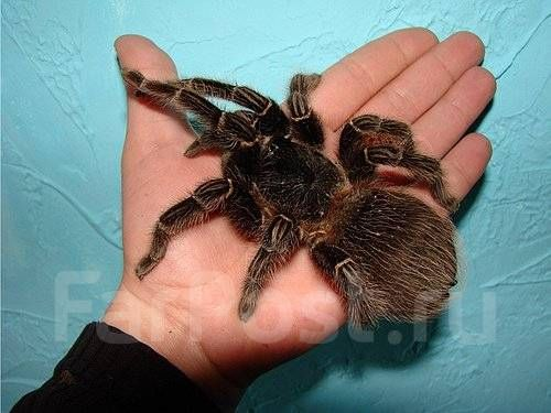 самка паук птицеед ласиодора парахибана lasiodora parahybana павукк