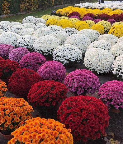 CHRYZANTEMY drobnokwiatowe, średniokwiatowe i wielkokwiatowe !