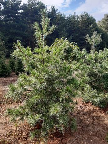 Sosna Armanda Limba różne duże do wysokości 400cm transport sadzenie.