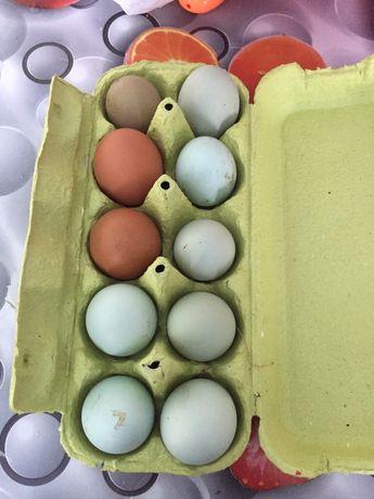 Домашние яйца курей