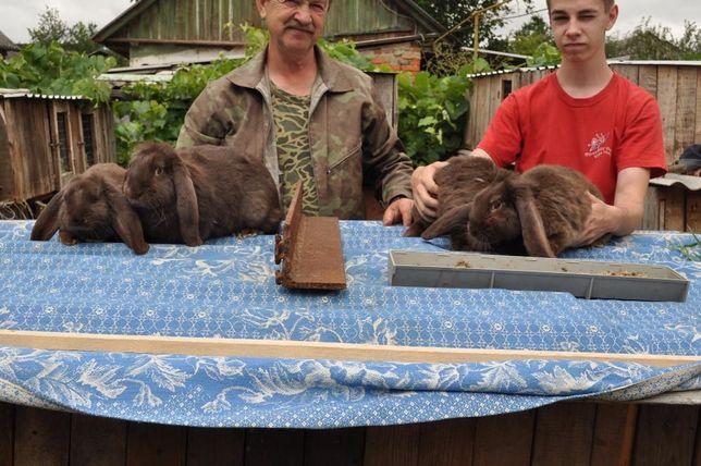 Кролі : французький термон, французький баран, полтавський сріблястий