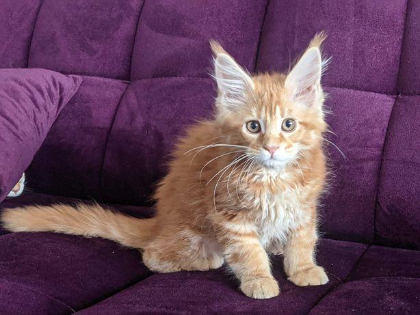 Kotki Maine Coon - z rodowodem FIFE - piękne maleństwa!