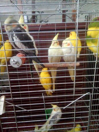 Молоді папужки