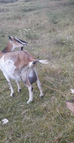 Безрогі кози і козенята