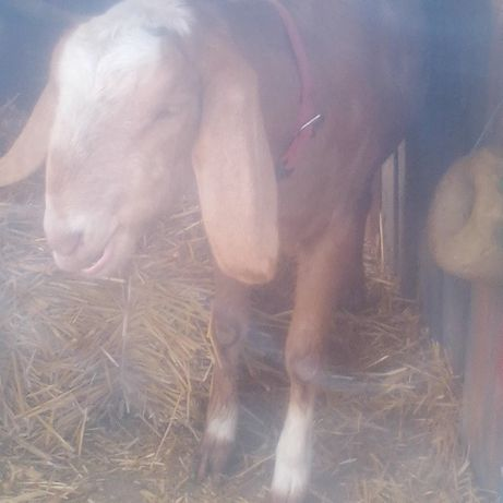 Дойная коза АН.породы 60%