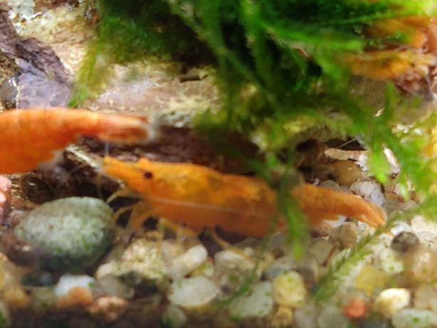 Krewetki Orange/krewetka do akwarium/raki do akwarium/raczki