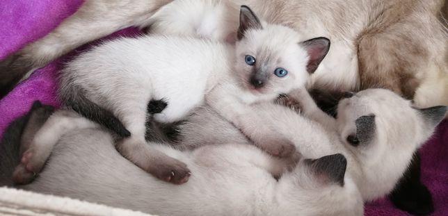 Котенок кошечка девочка сиамская тайская