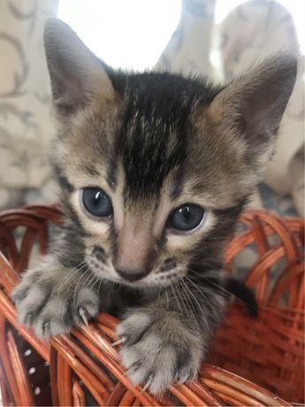 Продам бенгальскую кошечку