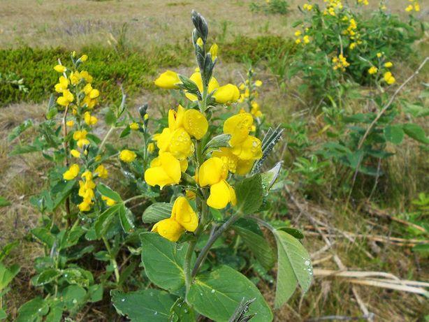 Семена малораспространённых многолетних цветов