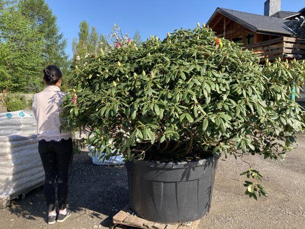 Rododendron Szeroki na 3 metry Gęsty