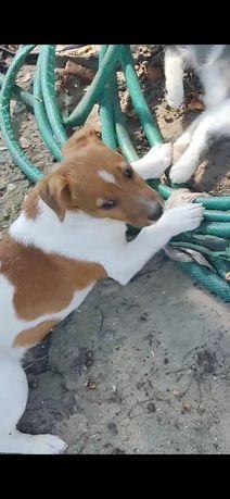 Пропал щенок 4 месяца. Похожий на Рассел терьера.