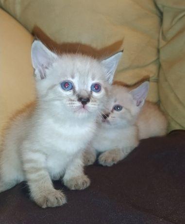 Котята лиловый и сильвер поинт с синими глазами.