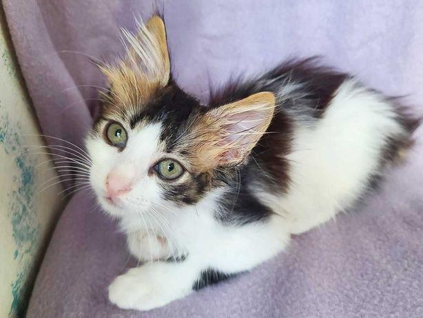 Пушистый котенок Шедевр, 2 мес. Нежный и ласковый котик. Лоток 5+