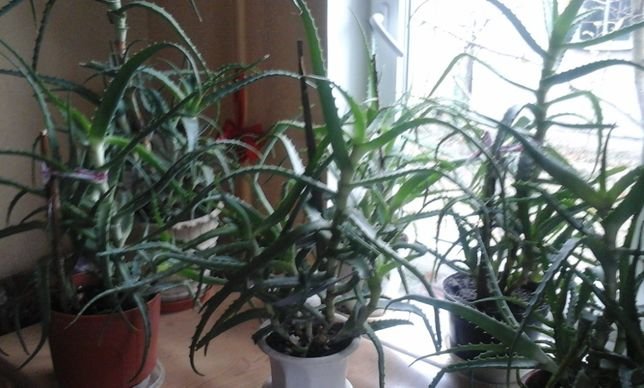 Алоэ 5 и 6 летние (лекарственное растение)