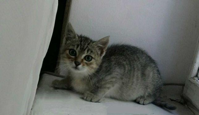 Ласкаві кошенята з блакитними очима