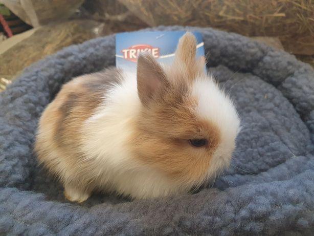 Króliki miniaturki, Króliki teddy, króliki karzełki