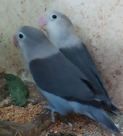 Попугаи неразлучники сформированная пара