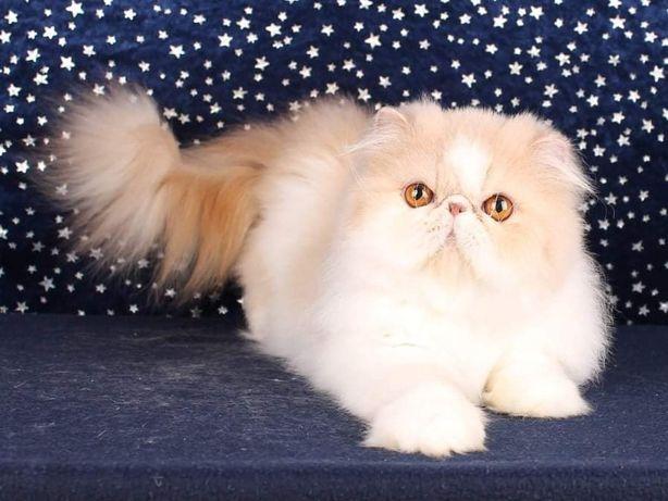 Персидский котик(Кремовый биколор)