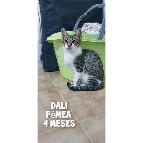 Dali- gatinha bebe para adoção