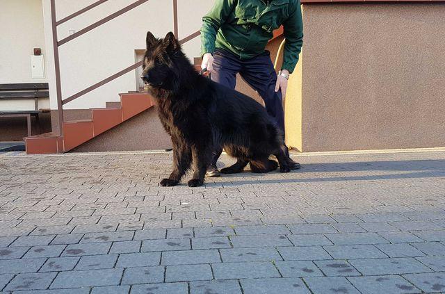 Owczarek Niemiecki Długowłosy Czarny - Piękne Szczenięta