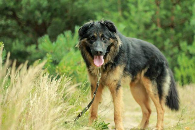 Młody pies w typie owczarka niemieckiego do adopcji