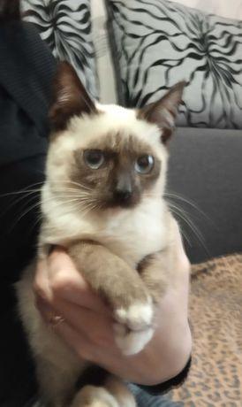 Отдам котенка в хорошие руки метис сиамца