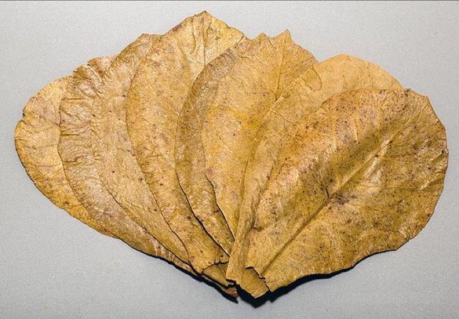 Folhas de Catappa. M-L