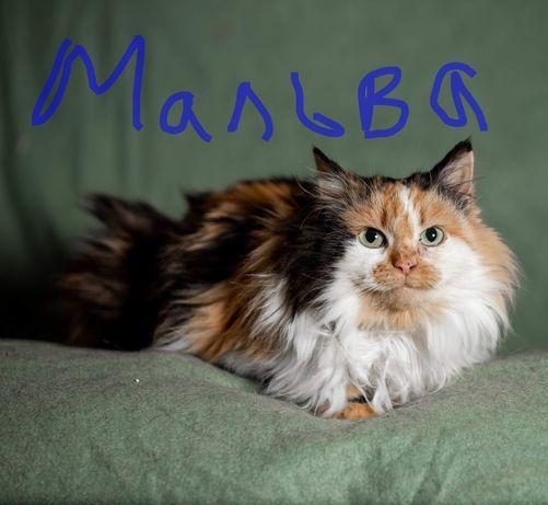 Трехцветная кошка калико Харьков