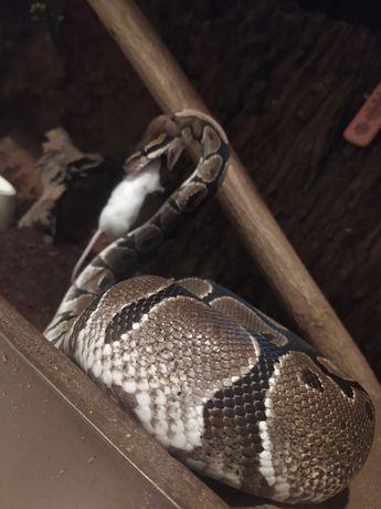 wąż królewski samiec classic