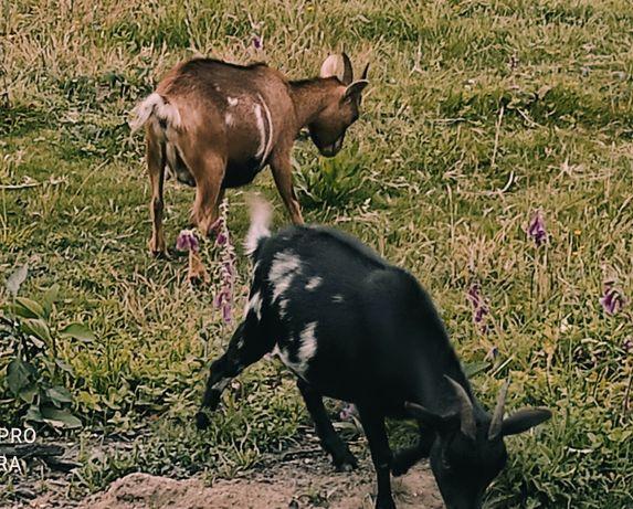 Cabras anãs prenhas