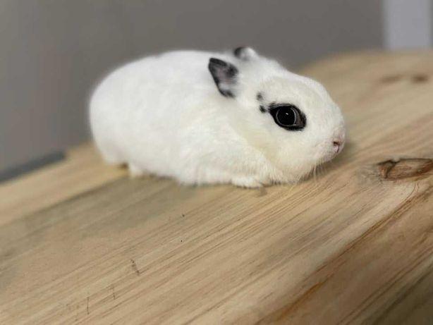 Vendo coelhos anões