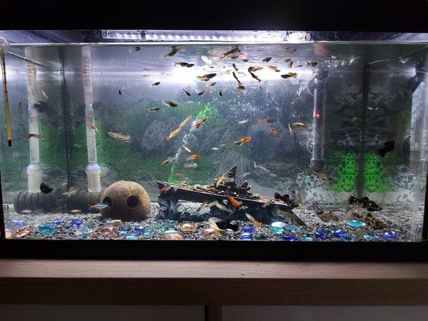 Ryby akwariowe Gupiki Endler,Tiger,Neonowe