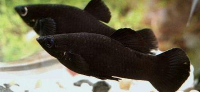 Molinezja czarna 9sztuk + narybek