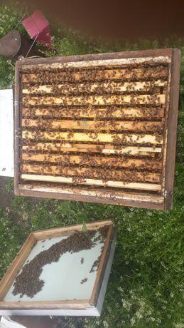 В наличии пчеломатки,бджоломатки итальянки,бакфаст