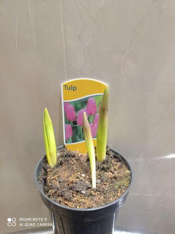 Тюльпаны в горшочке.