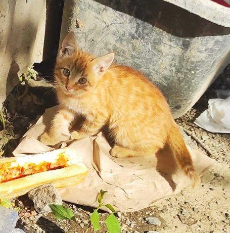 Рыжий котенок-мальчик, 2,5 месяца