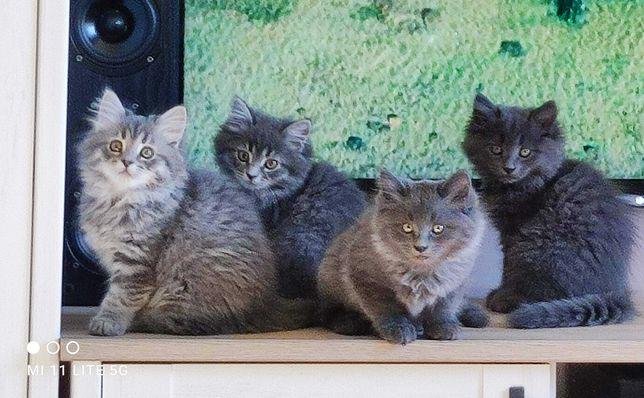 Piękne kocięta syberyjskie  - niebieskie