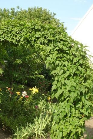 клематис мелкоцветковый ( лиана- молодые кусты)