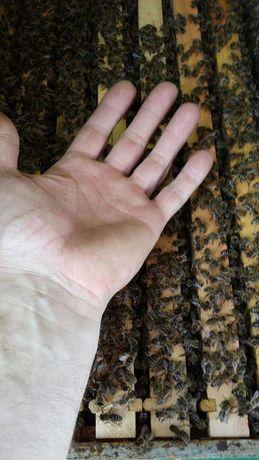 Серая. Карпатка. Карпатські бджоли Плодная