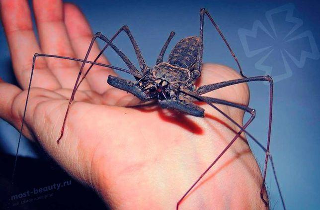 Фрин или жгутоногий паук