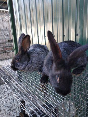 Полтавское серебро кроли