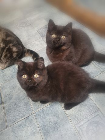Kocięta brytyjskie kocurki 3.5 miesiąca czarne krótkowłose z RODOWODEM