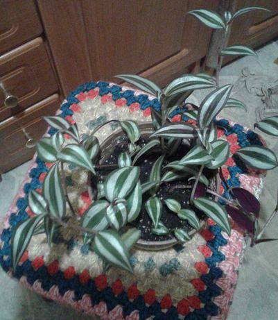 Цветы  - традисканция полосатая