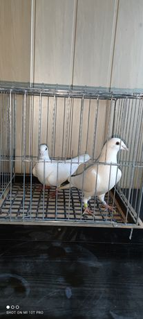 Gołębie ozdobne rasowe
