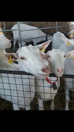 Cabras sannem/ prenhas ou em lactação